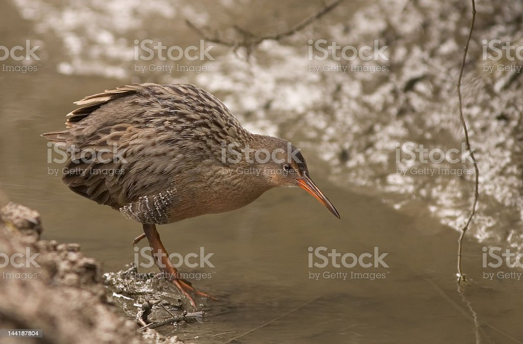 California Clapper Rail royalty-free stock photo