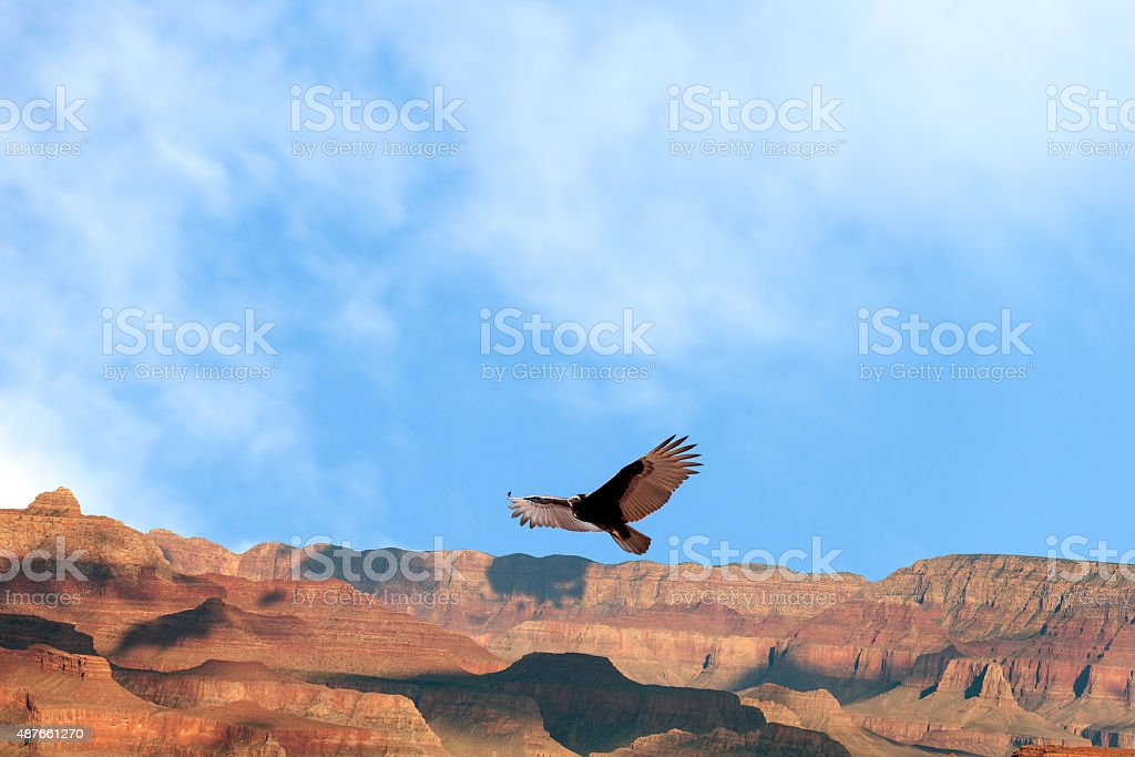 California Condor at Grand Canyon Soaring, Arizona, USA stock photo