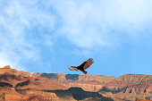 California Condor at Grand Canyon Soaring, Arizona, USA