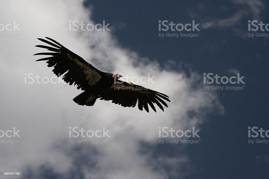 California Condor stock photo