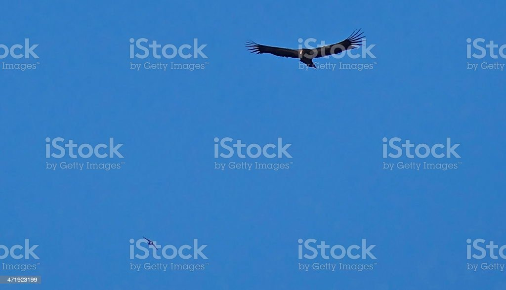 California Condor/Peregrine Falcon stock photo