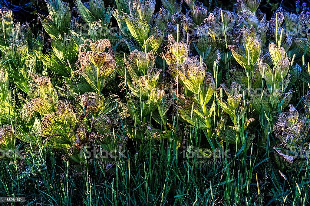 California Corn Lily (Veratrum californicum) and Timothy-grass (Phleum pratense) stock photo