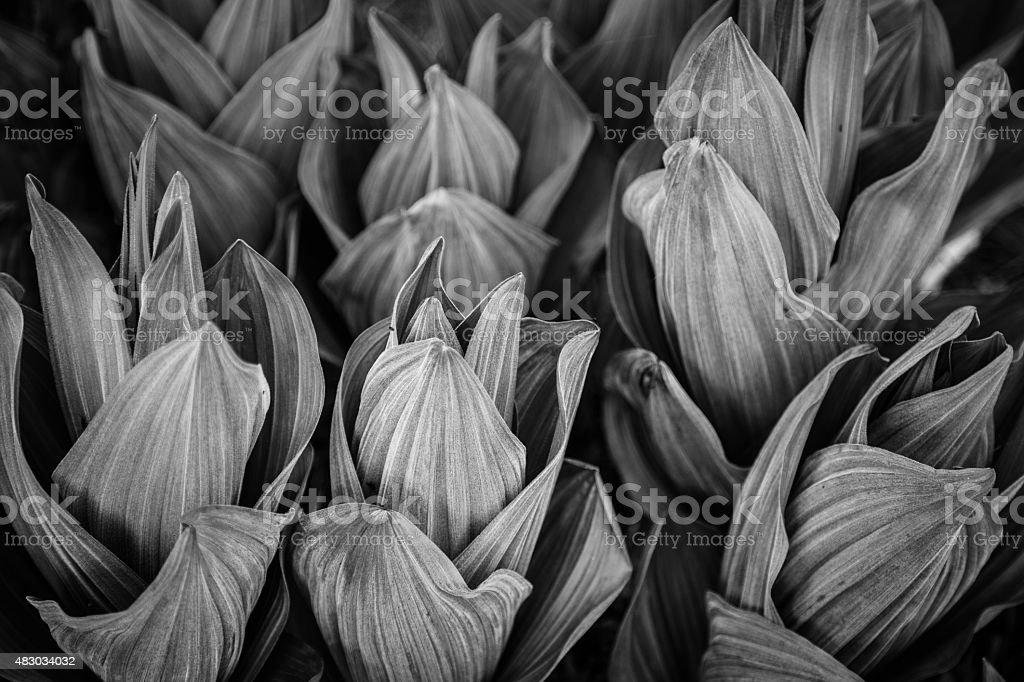 California Corn Lily Black and White stock photo