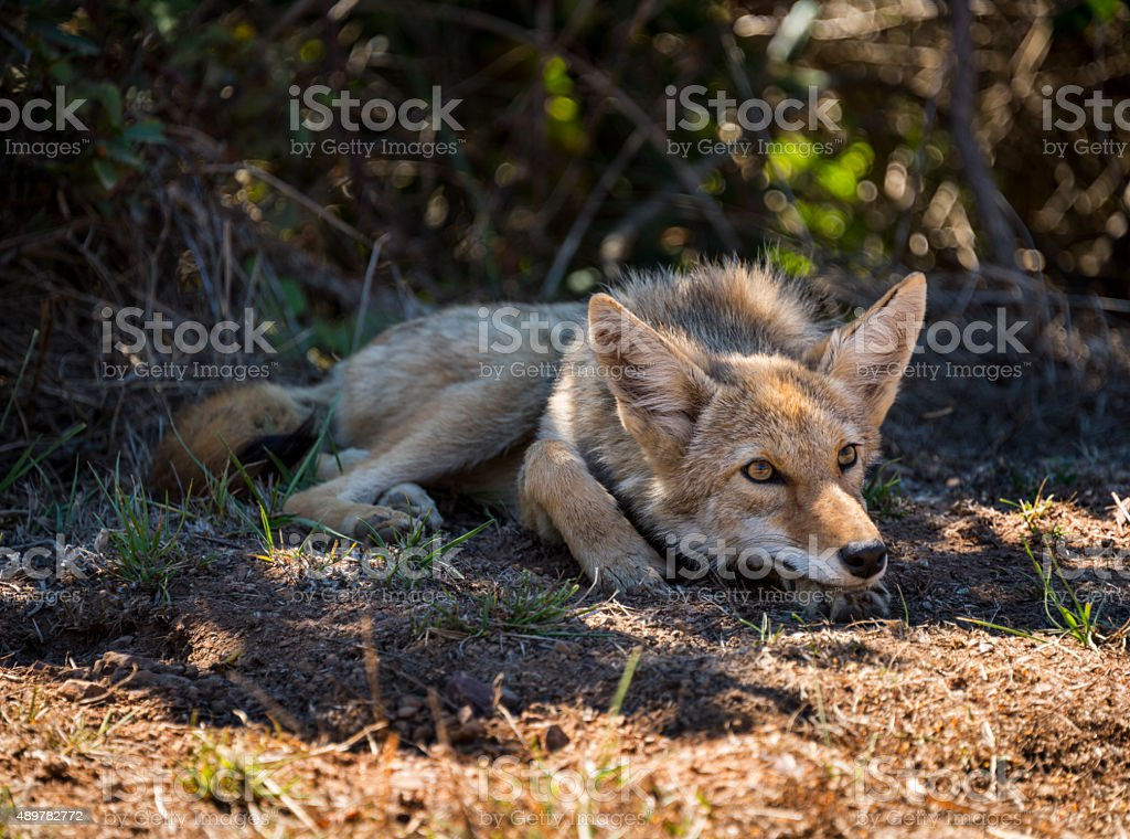 California Coyote Resting stock photo