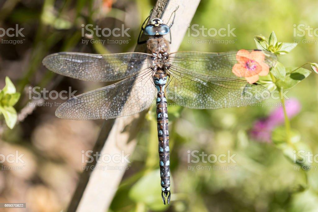 California Darner - Rhionaeshna californica, Male. stock photo