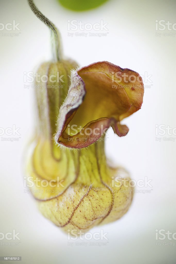 California Dutchmans pipe  Aristolochia californica stock photo