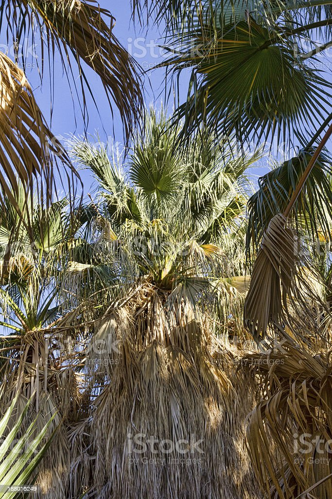 California Fan Palm at Thousand Palms Oasis royalty-free stock photo
