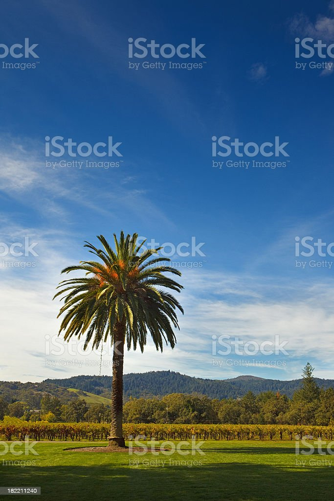 california fan palm tree stock photo