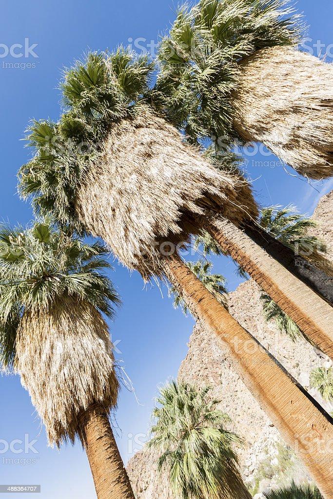 California Fan Palms at Joshua tree National Park, California royalty-free stock photo