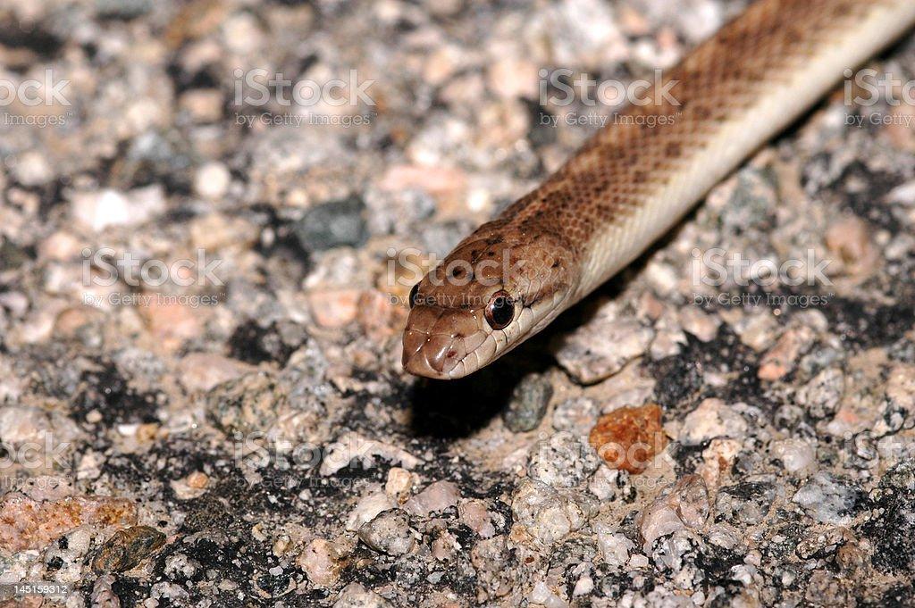 California Glossy snake royalty-free stock photo