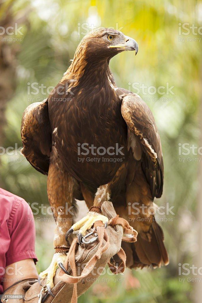 California Golden Eagle and Handler stock photo