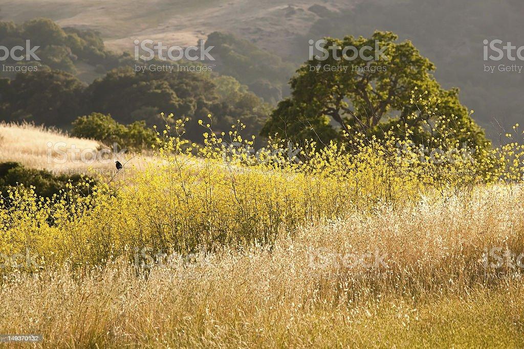 California Golden Mustard Field royalty-free stock photo