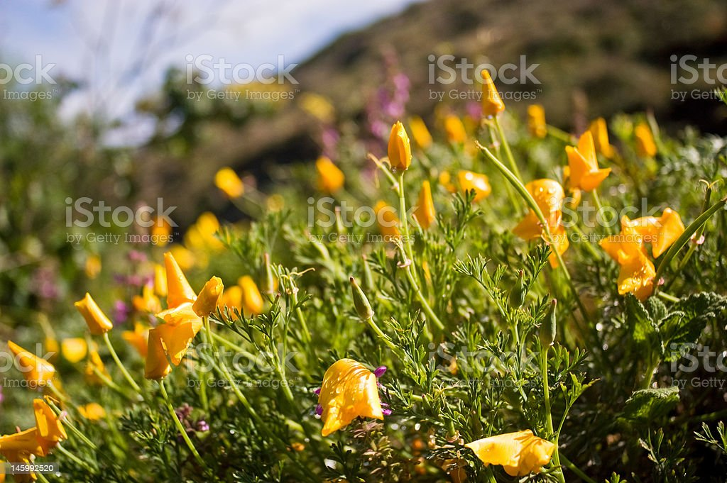California Golden Poppies royalty-free stock photo