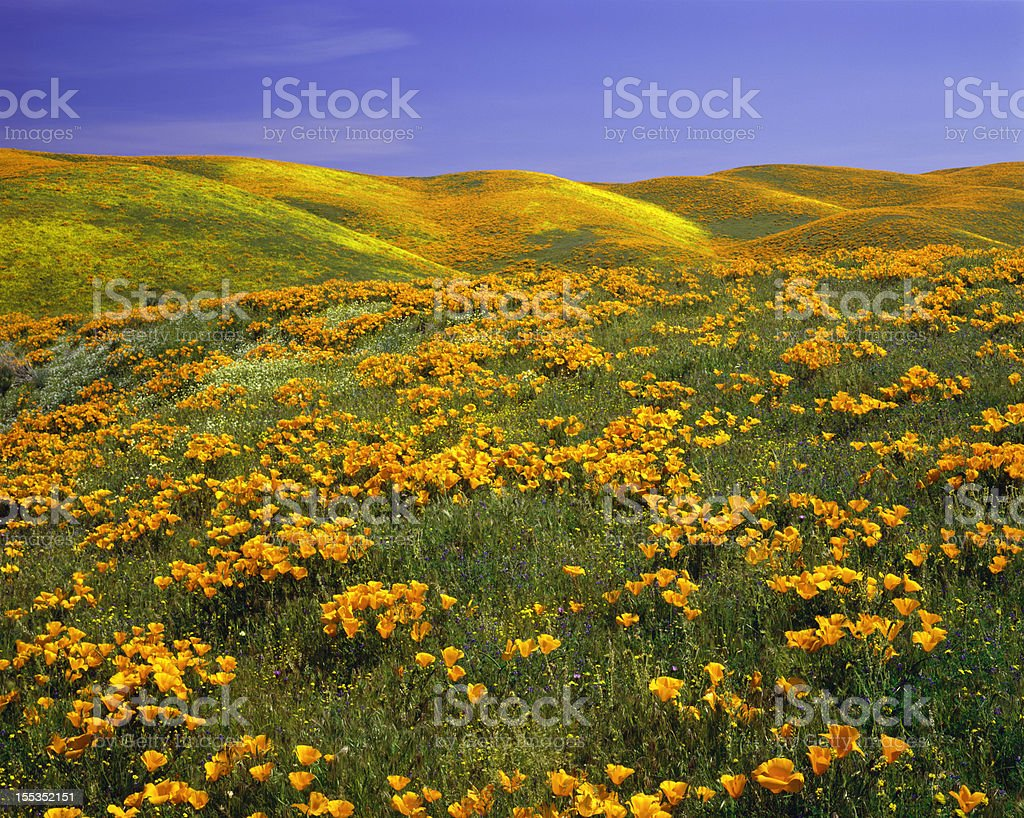 California Golden Poppies stock photo