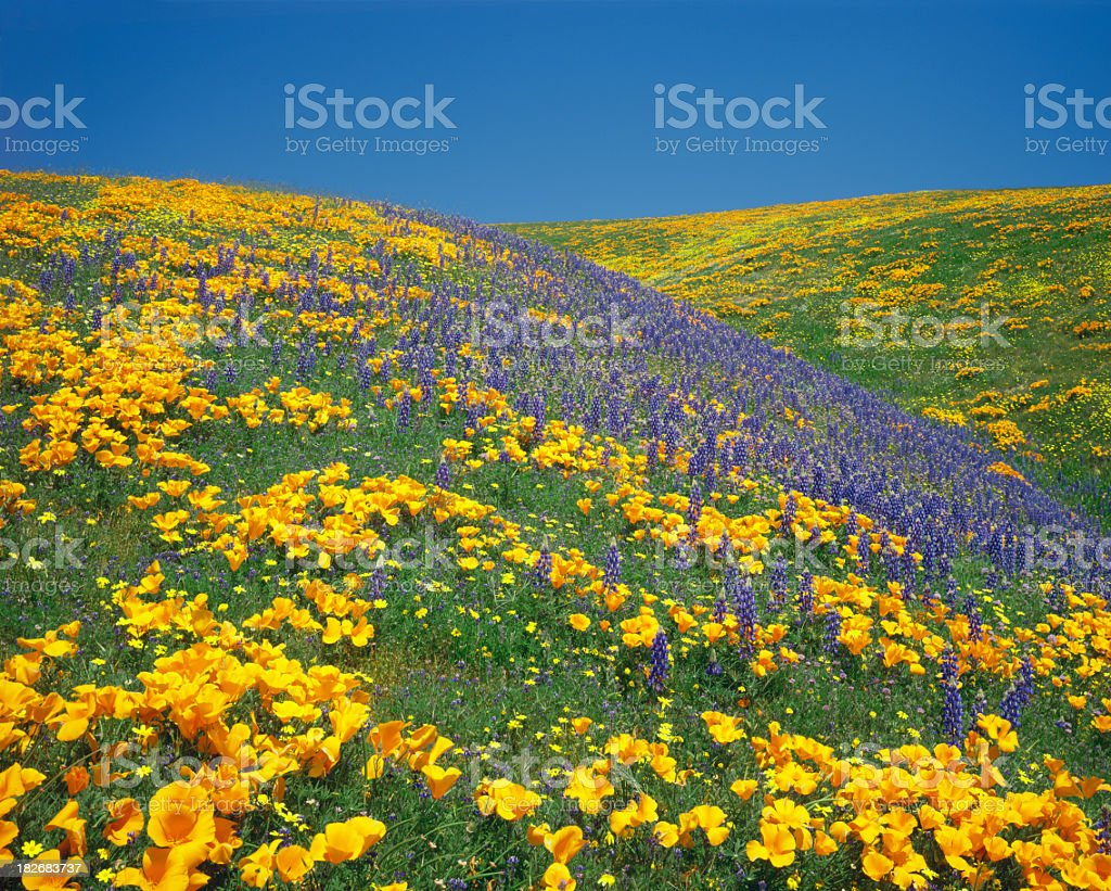 California Golden Poppies royalty-free stock photo