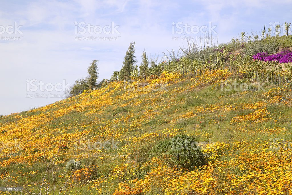 California Golden Poppy, Meadow of Wildflowers stock photo