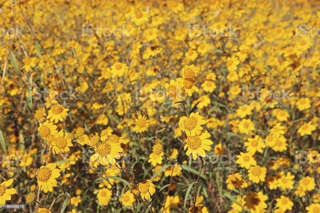 California Goldfield Flowers Lasthenia californica royalty-free stock photo