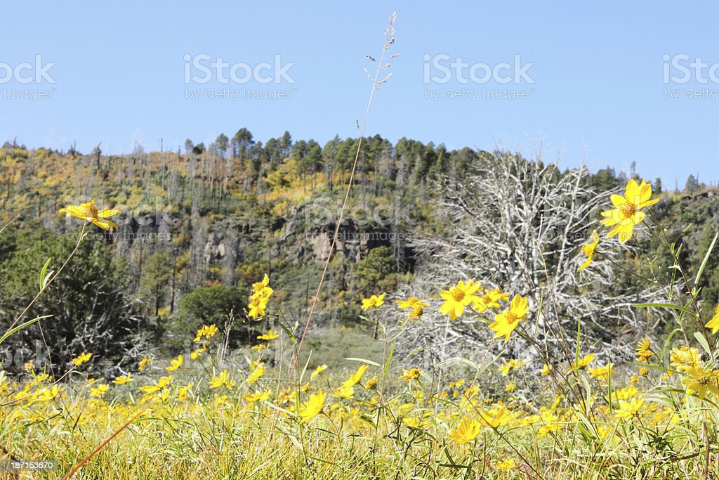 California Goldfield Flowers Lasthenia californica royalty-free stock photo