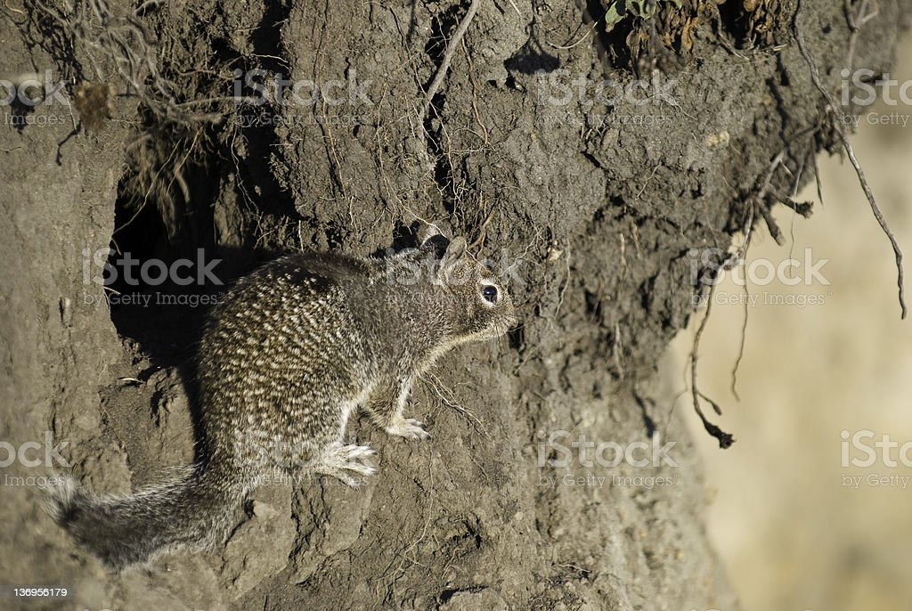 California Ground Squirrel royalty-free stock photo