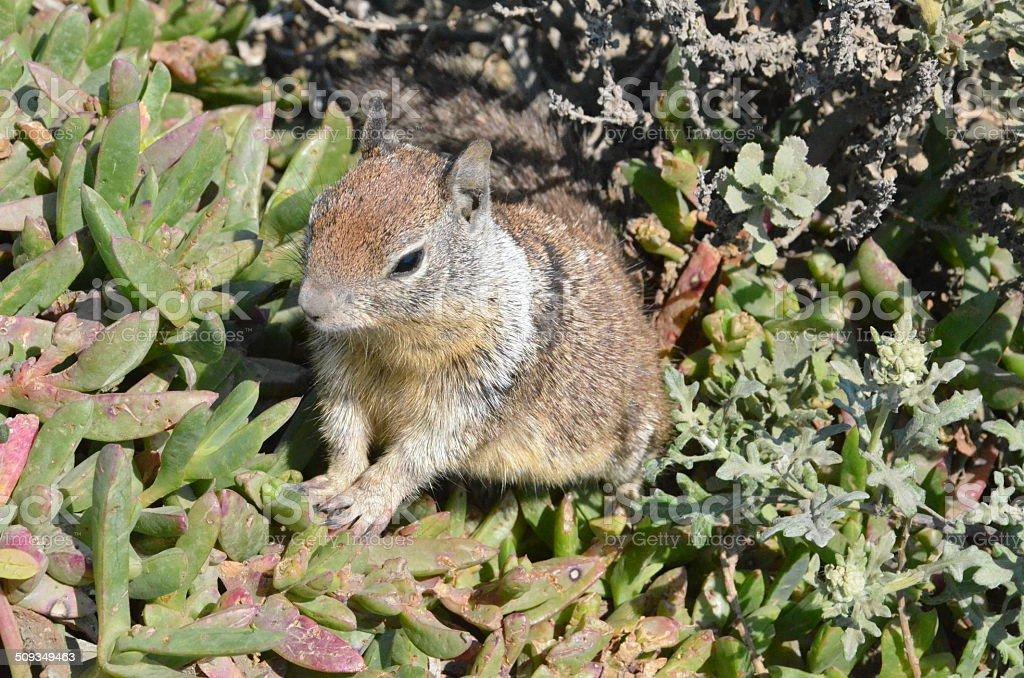 California ground squirrel (Otospermophilus beecheyi) stock photo