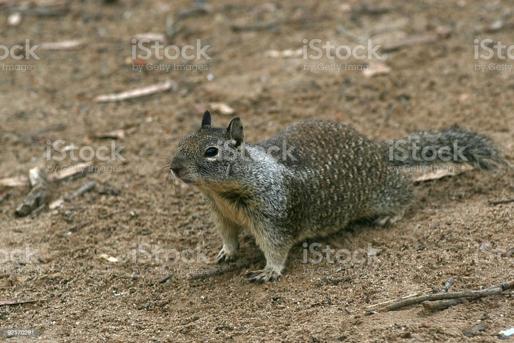 California Ground Squirrel royalty-free stock photo