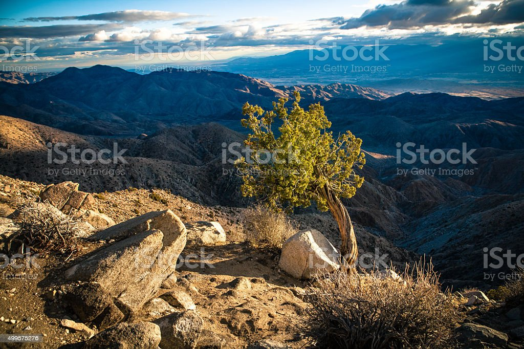California Juniper Clings To Windswept Cliff Edge, Keys View royalty-free stock photo