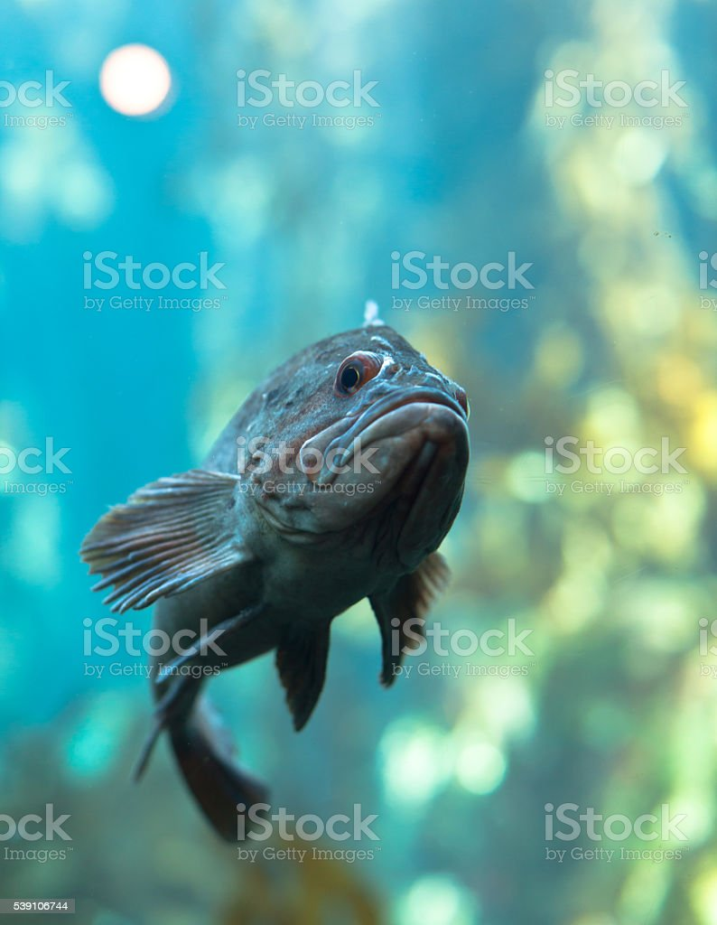 California Kelp Forest Life stock photo