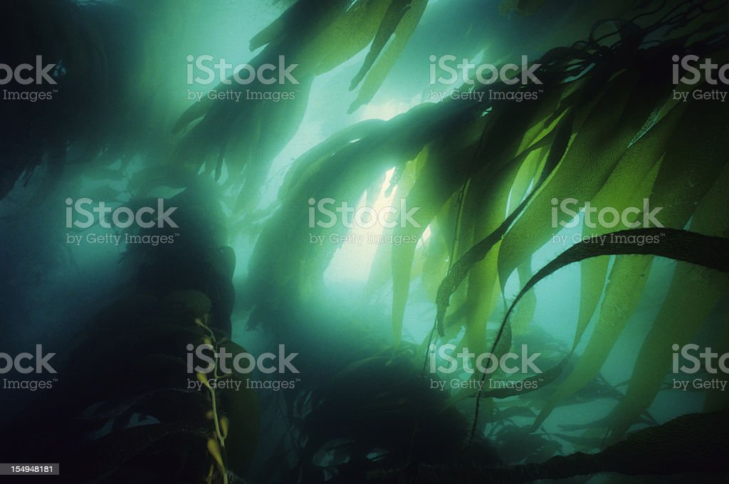 California Kelp Forest stock photo