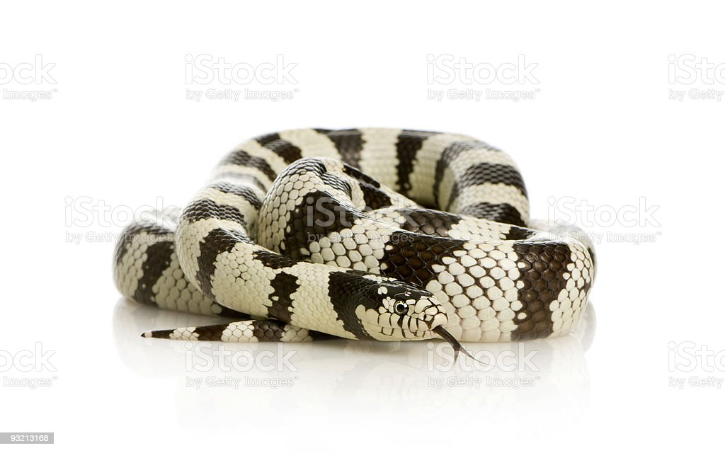 California Kingsnake - Lampropeltis getulus californiae stock photo