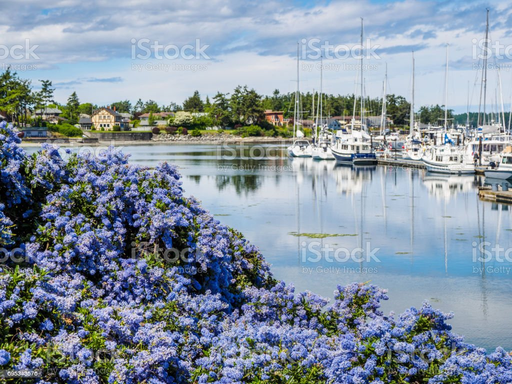 California Lilac blooming in front of marina with moored boats stock photo