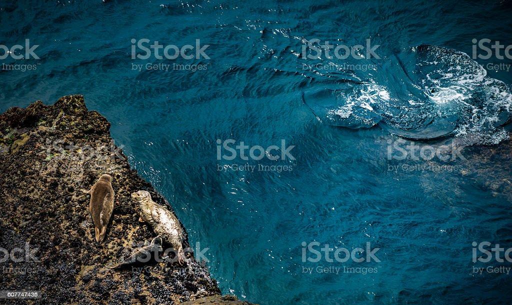 California Marine Wildlife Harbor Seals stock photo