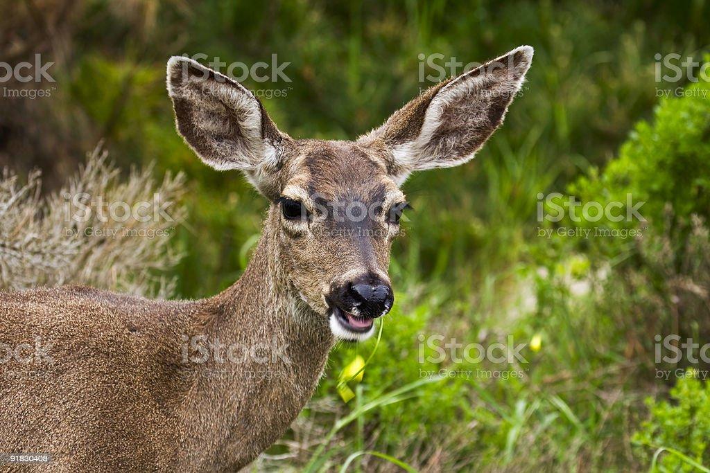 California mule deer (Odocoileus hemionus californicus) stock photo