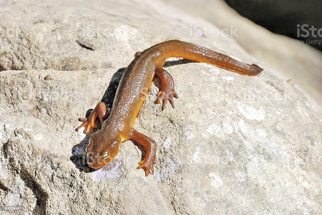 California Newt on A Rock stock photo