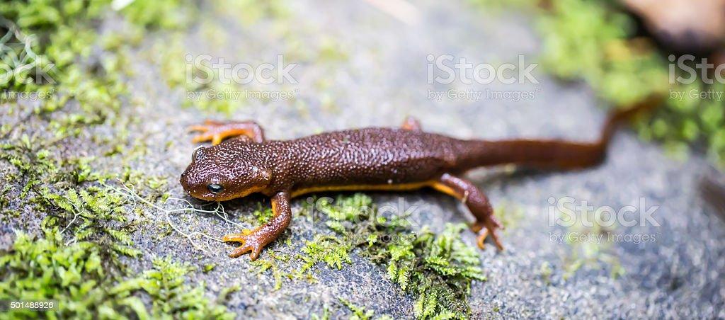 California Newt, Taricha torosa, in Leaves stock photo