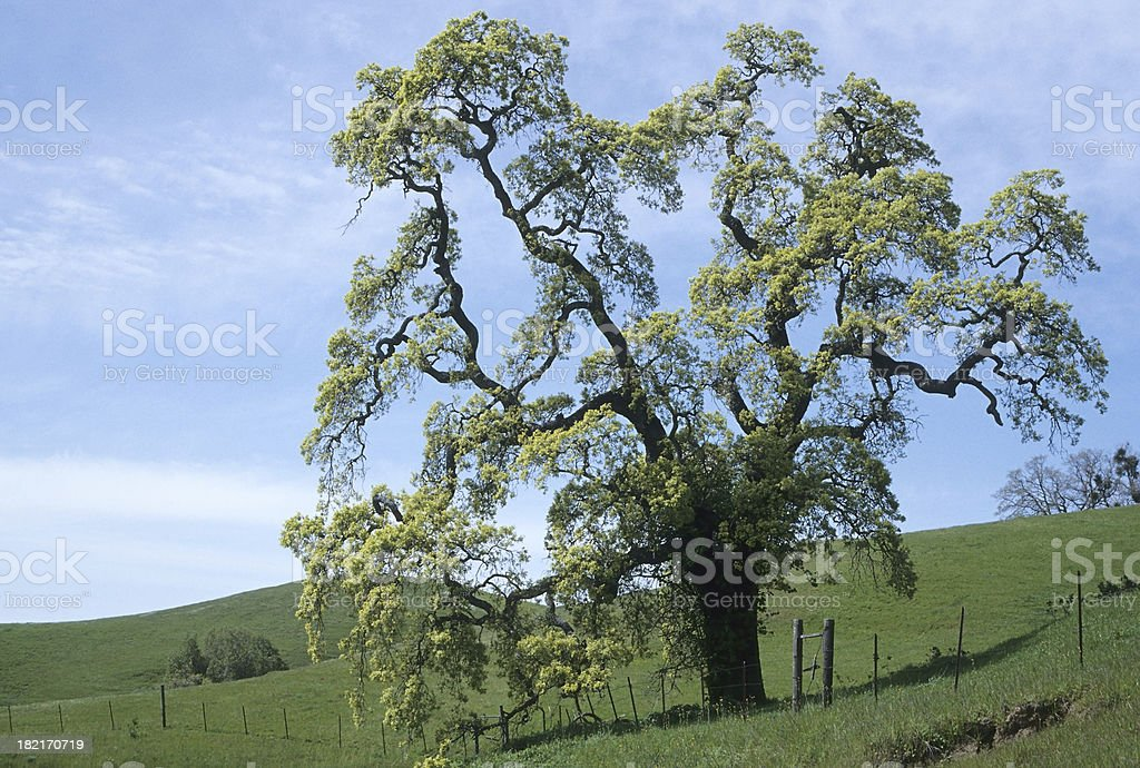 California Oak stock photo