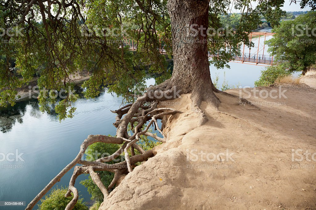 California oak tree on top of a river cliff stock photo