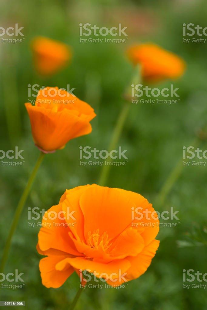 California orange poppy flowers stock photo