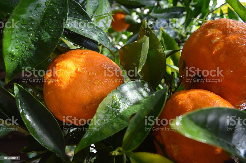 California Orange Tree stock photo