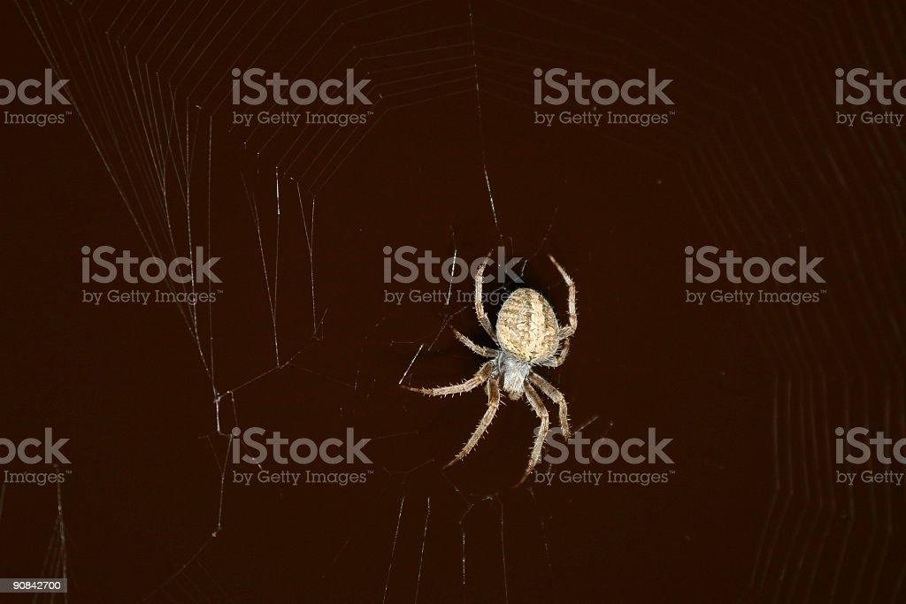 California Orb Bush Spider at Night royalty-free stock photo