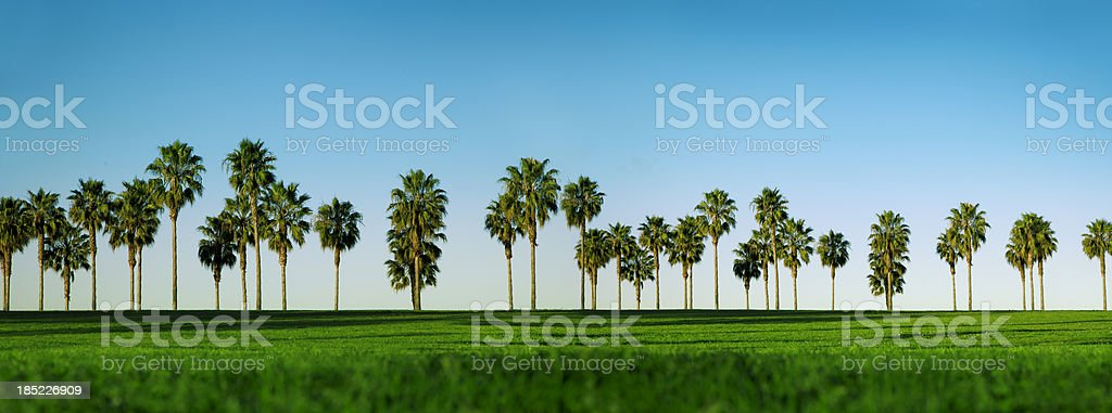 California Palm Trees stock photo