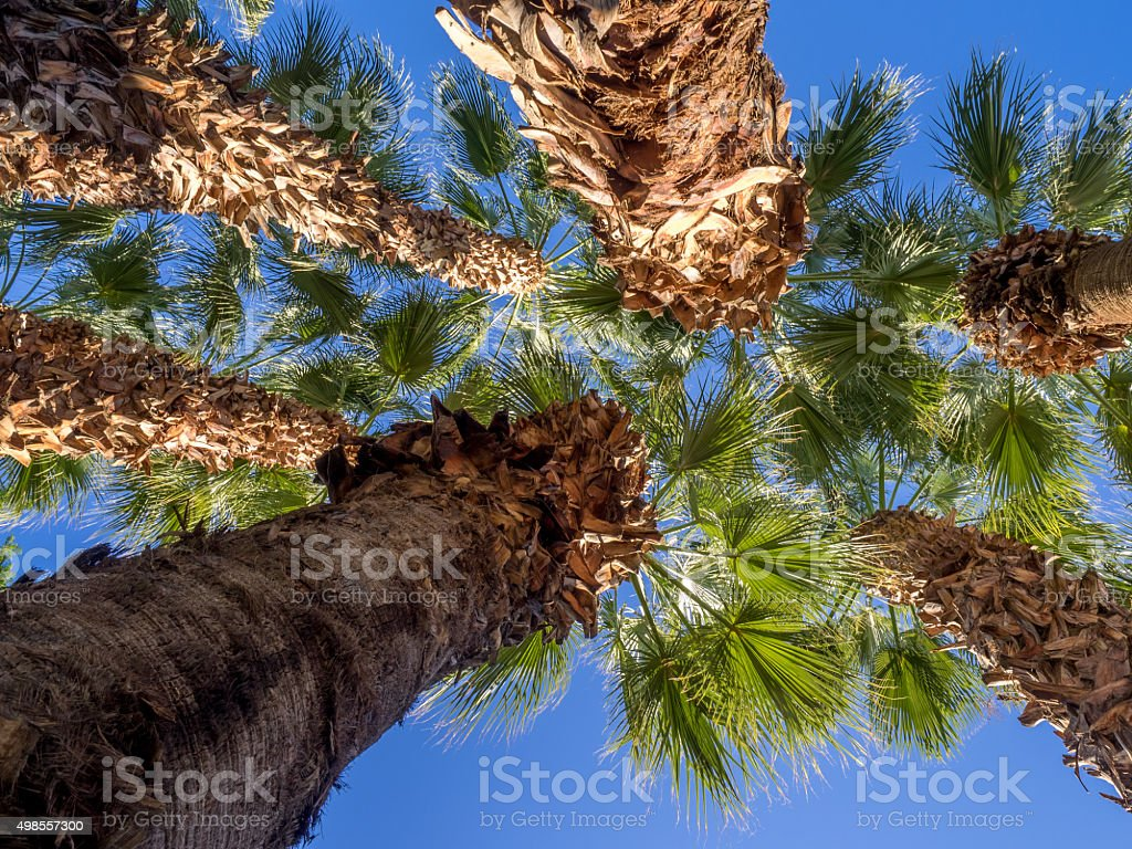 California Palms stock photo
