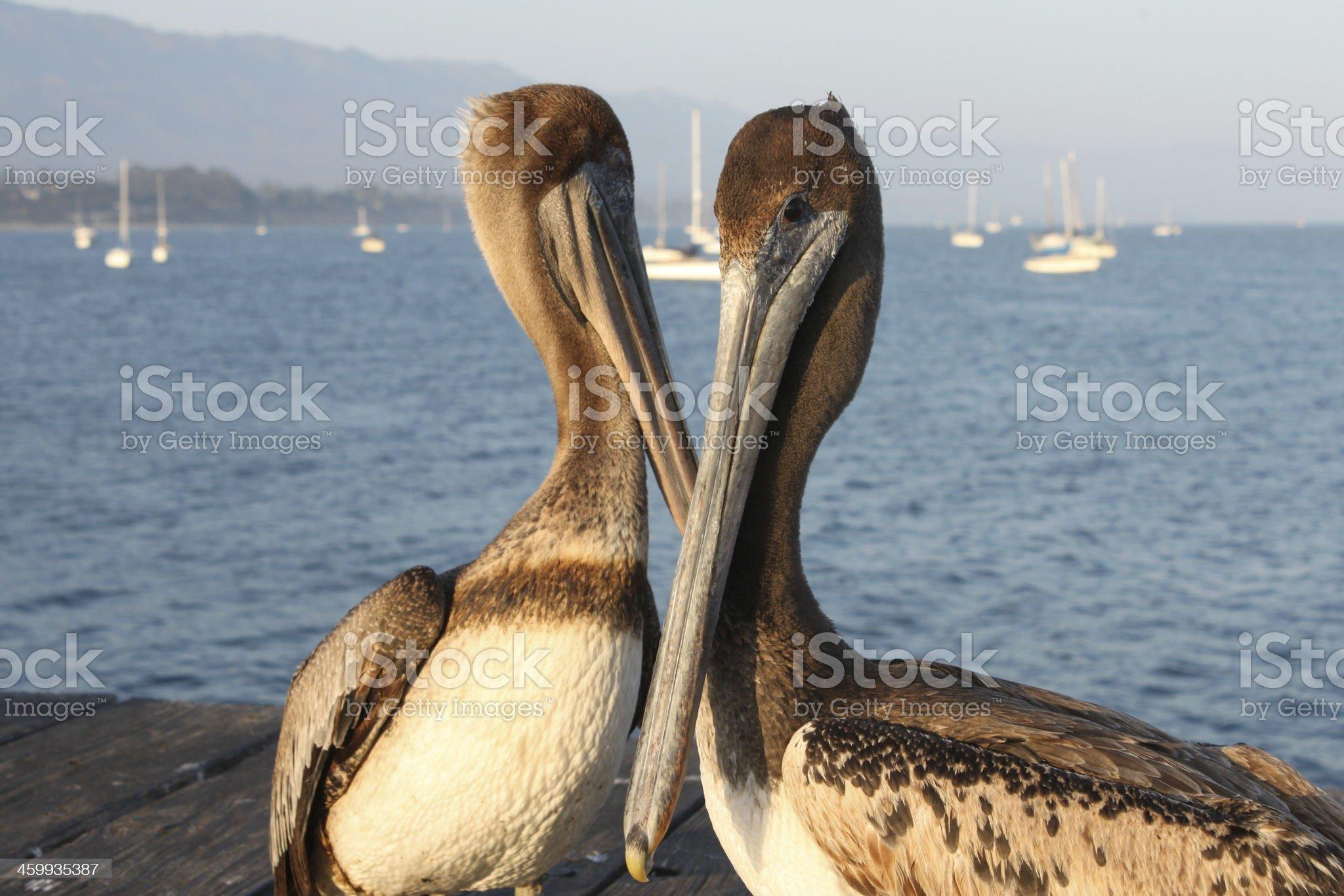 California Pelicans royalty-free stock photo
