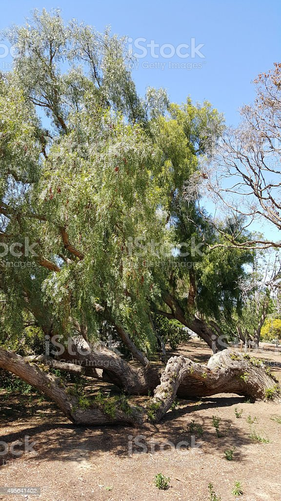 California Pepper Tree stock photo