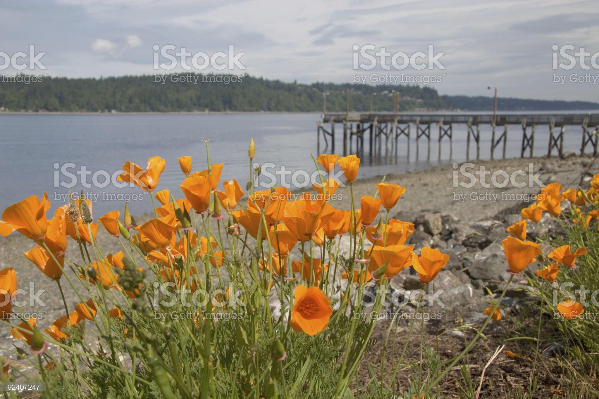 California poppies along the beach royalty-free stock photo