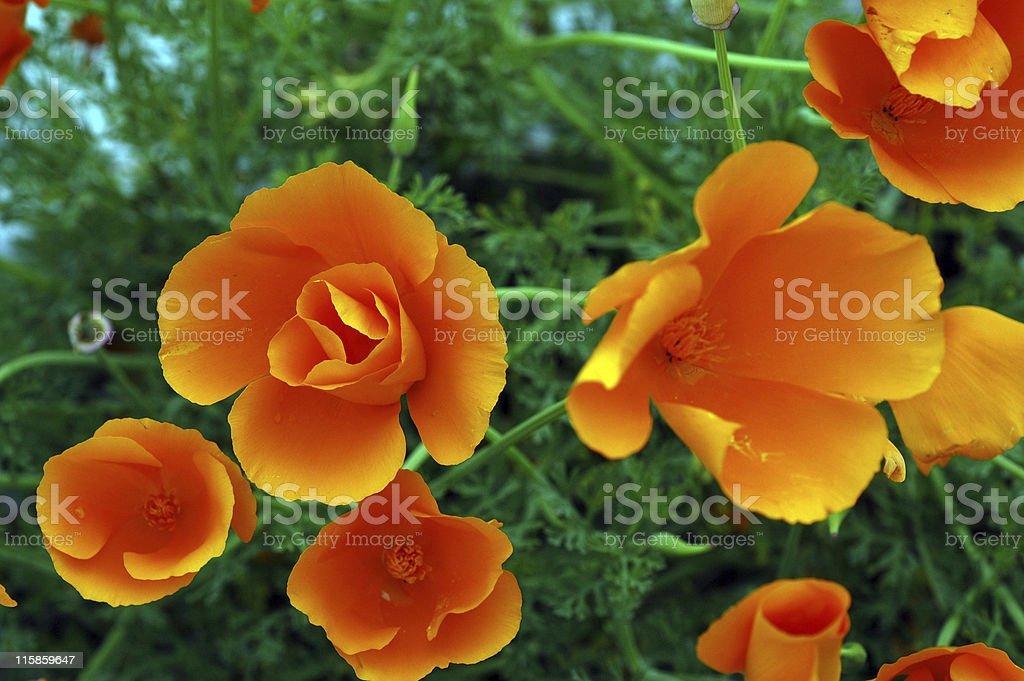 California poppies, Eschscholzia californica, orange flowers royalty-free stock photo