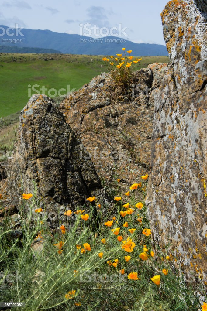 California poppies growing around lichen covered rocks stock photo