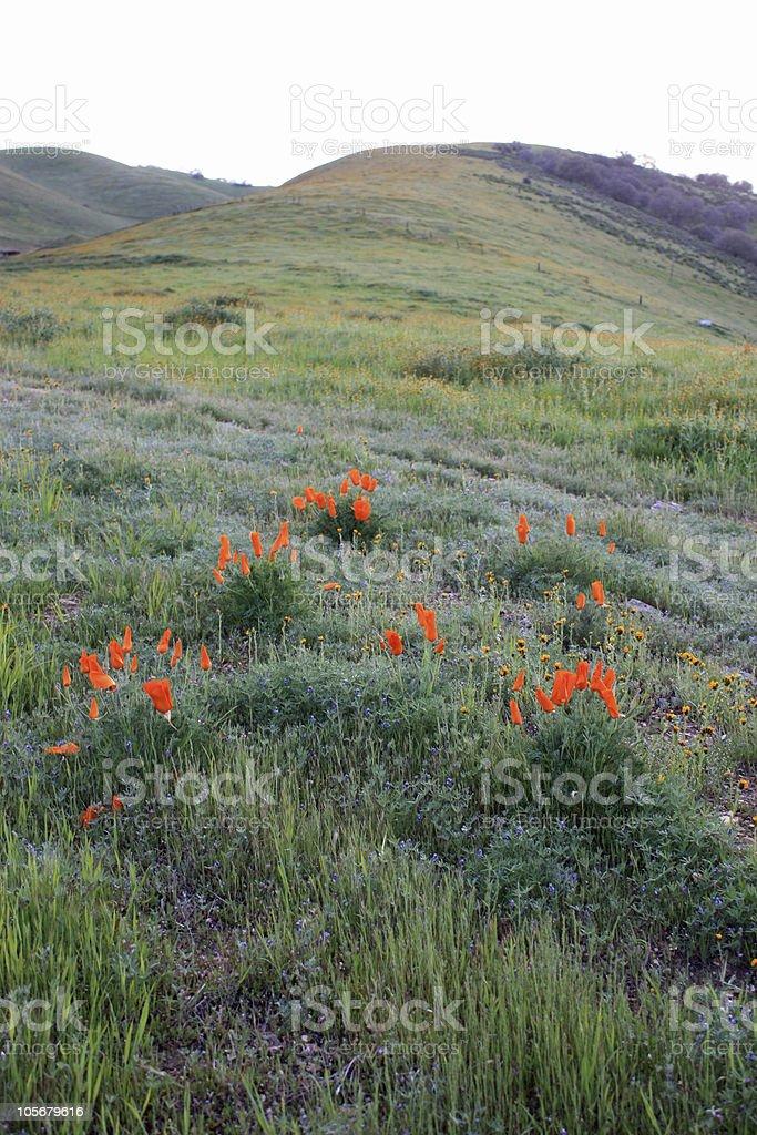 California poppies on hillside stock photo