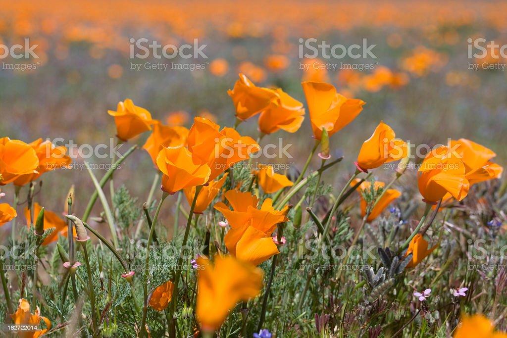 California Poppies royalty-free stock photo
