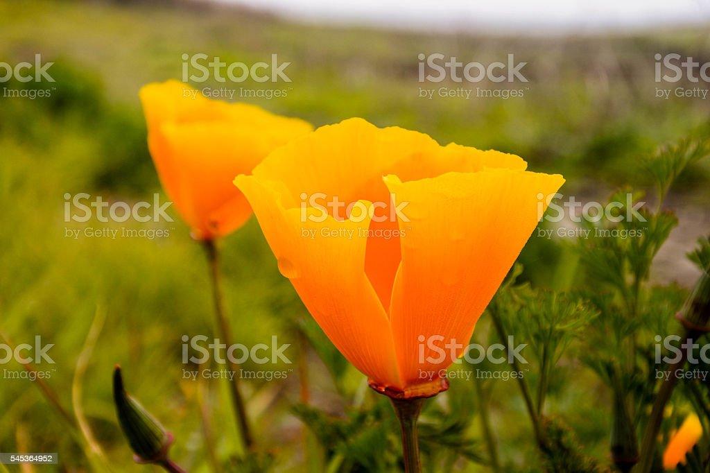 California Poppies (Eschscholzia californica) stock photo