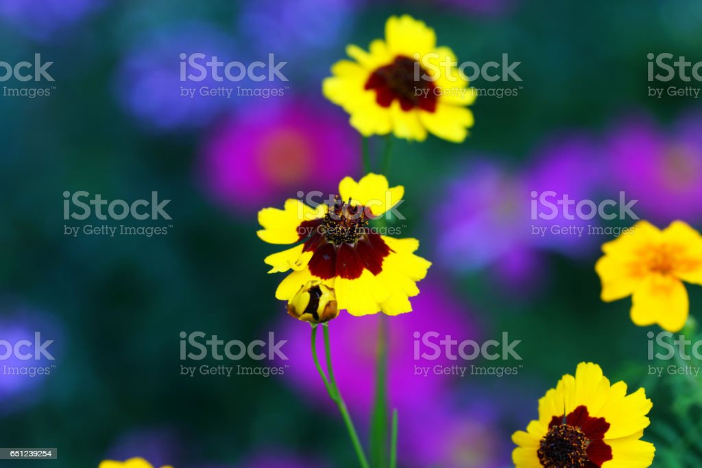 California poppies, tickseed and garden cosmos stock photo